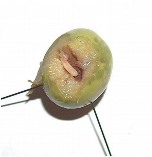 Figure 15.Third instar larva of the olive fruit fly, Bactrocera oleae.