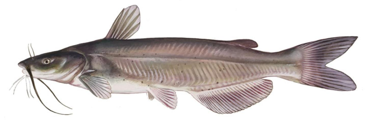 Figure 3.The channel catfish is a popular food and sport fish and can be stocked alone or with other species.
