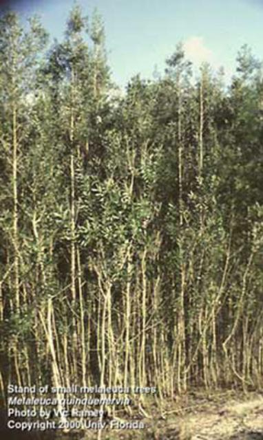 Figure 1.Bosque de árboles jóvenes de melaleuca, Melaleuca quinquenervia (Cav.) S. T. Blake (Myrtaceae), en el sur de Florida.