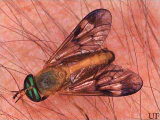 Figure 7.Adult yellow fly, Diachlorus ferrugatus (Fabricius).