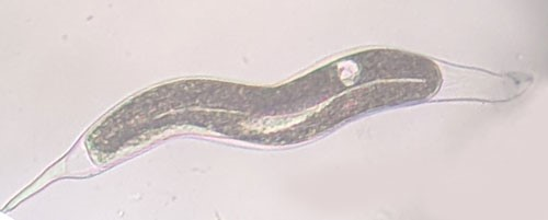 Figure 10. A fourth-stage juvenile (J4) male of the grass root-knot nematode, Meloidogyne graminis Whitehead. The worm-shaped male can be seen developing inside of the J4 body.