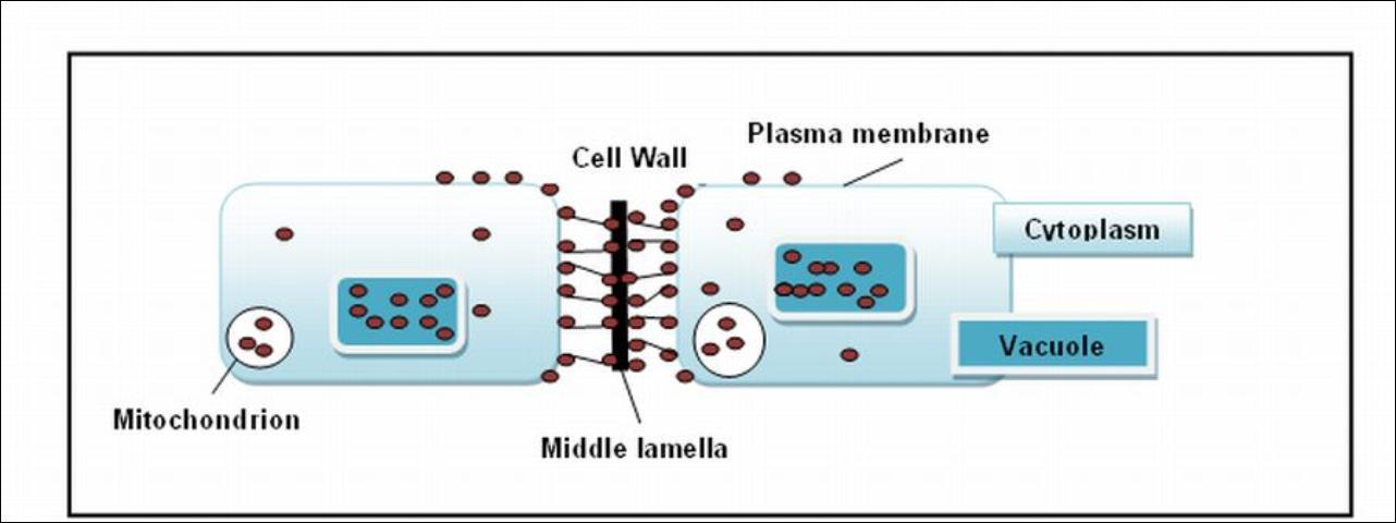Figure 6.Neighboring cells depicting Ca distribution.