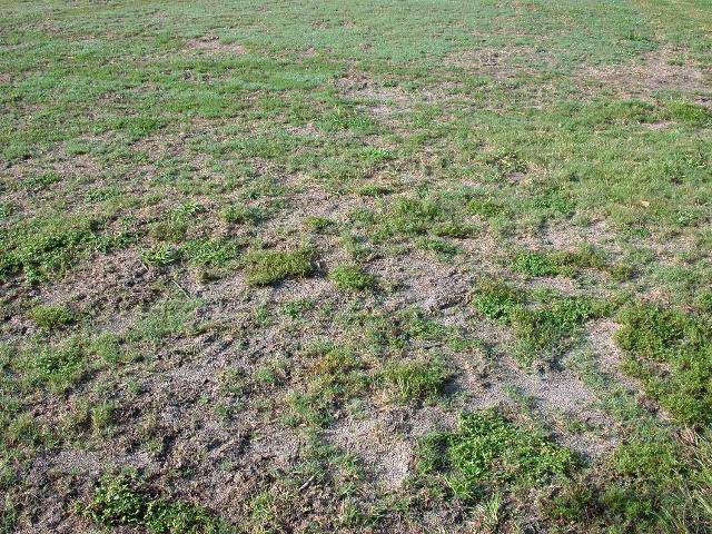 Figure 3.Dead patches caused by mole crickets feeding on turfgrass.