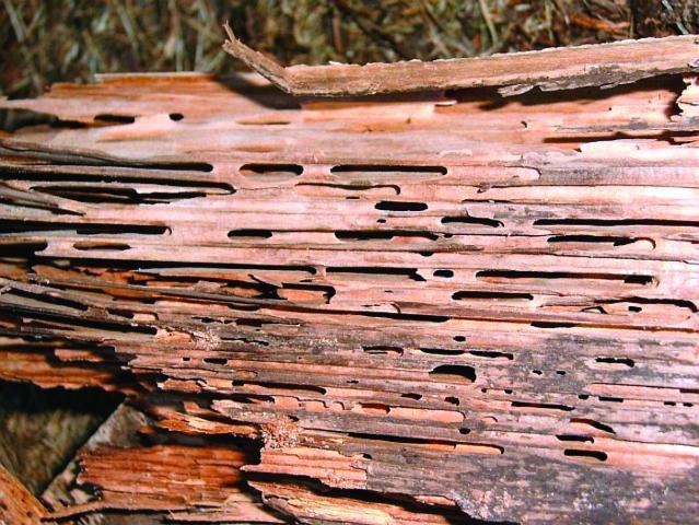 Figure 10.Carpenter ant damage to wood.