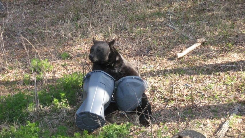 Figure 1. Black bears can easily tear apart unsecured garbage cans.