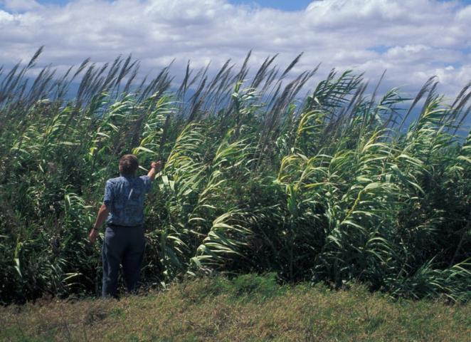 Figure 1. Arundo donax, or giant reed.