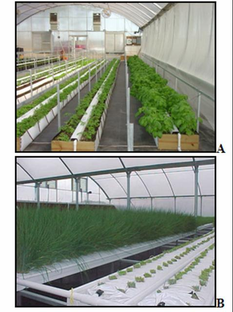 Figure 7.These photos -- taken in a greenhouse in McAlpin, FL, in 2006 -- picture (A) a crop of mixed herbs for fresh-cut, grown in an open trough filled with a peat-based mix and (B) a chives crop in perlite bags in a trough.