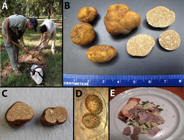 Figure 1. A: Truffle hunters raking the ground in a pecan orchard in search of pecan truffles; B and C: Pecan truffles showing the distinct identifying features; D: the diagnostic, spiny-spores of the pecan truffle within an ascus; E: a prepared pasta dish with fresh slices of the pecan truffle.