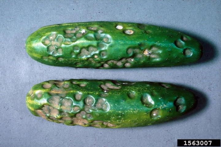 Figure 7. Cucumber fruit exhibiting water-soaked, sunken lesions typical of anthracnose.