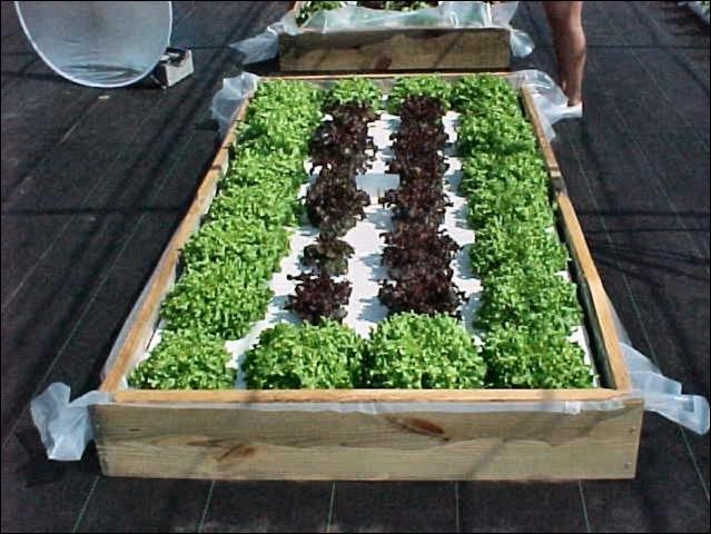Figure 1.Lettuce in floating garden system.