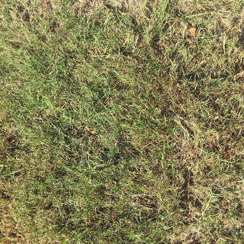 Figure 2.Common bermudagrass.