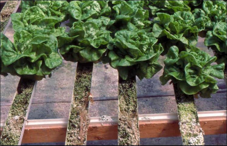 Figure 5.Butterhead lettuce growing in perlite-filled trays.