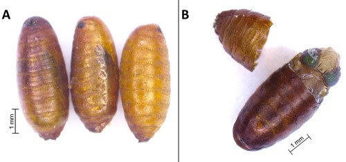Figure 5.Anastrepha fraterculus (Wiedemann) pupae. (A) Pupae of different ages (note change in coloration as pupae age—older one on the left). (B) Puparium with a pharate adult (fully formed fly) inside.