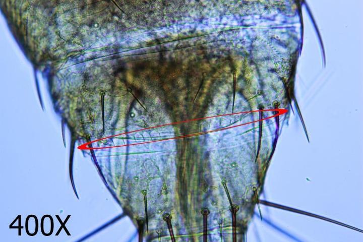Figure 8.Western flower thrips—microtrichial comb on abdominal segment VIII.
