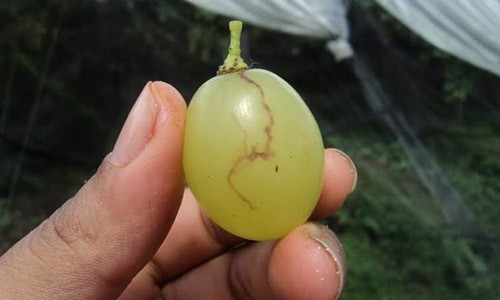 Figure 10.Damage to grapes caused by females of Anastrepha fraterculus (Wiedemann) complex.