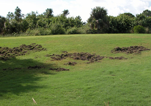 Figure 12. Feral swine have rooted up this golf course turf while hunting for worms, insects, and other food.