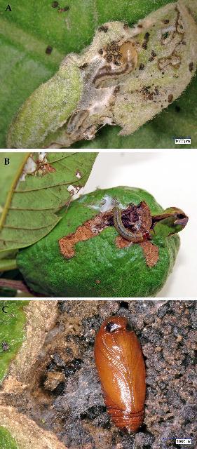 Figure 6.A) Caterpillars damaging guava buds. B) Caterpillars damaging young guava fruit. C) Pupa of moth on a guava fruit.
