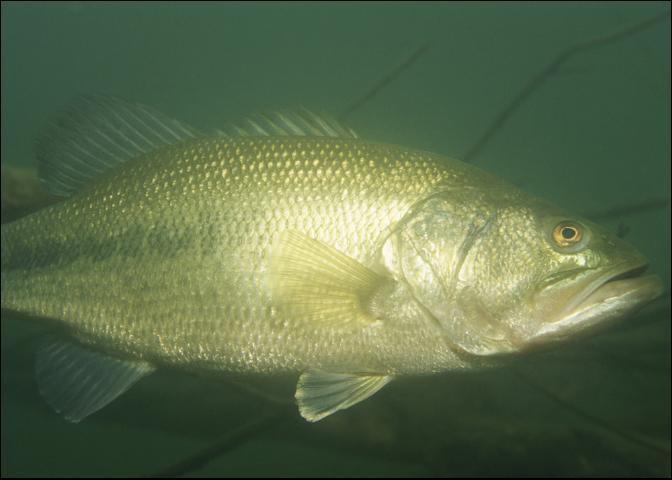 Figure 5.Florida largemouth bass.