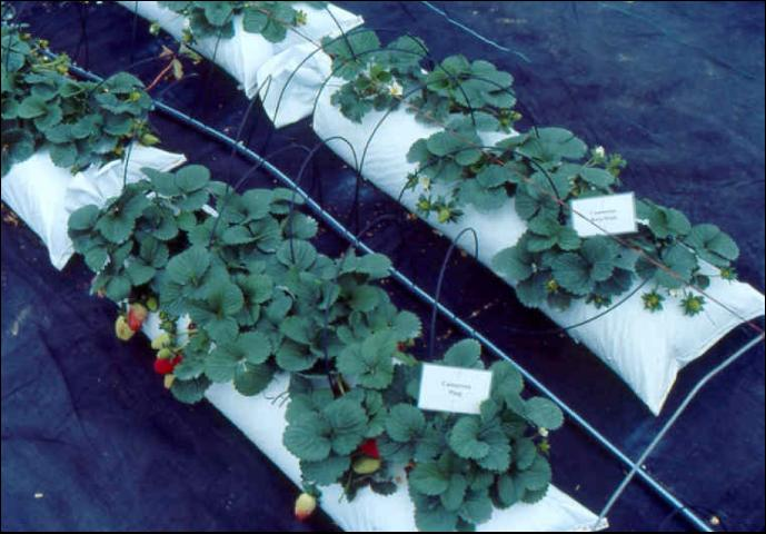 Figure 4.Short lay-flat bags filled with perlite in use for outdoor strawberry production.