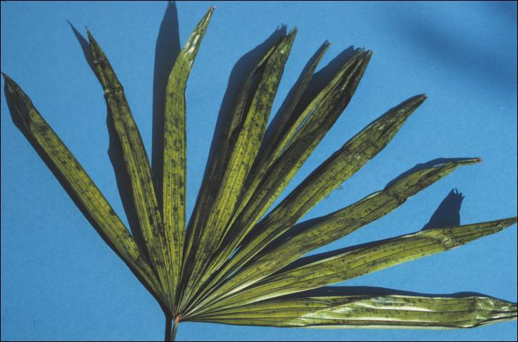 Figure 8. Iron-deficient new leaf of Rhapis excelsa (lady palm) showing green spotting on a chlorotic background.