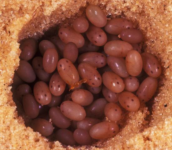 Figure 6.Shortwinged mole cricket eggs close to hatching.
