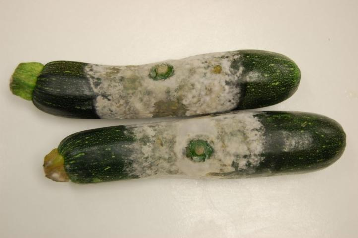 Figure 8.Fruit rot of zucchini caused by Phytophthora capsici.