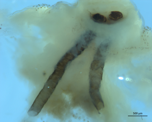 Figure 3.Dissection of internal darkened breathing tubes (trachea) from the larva of a primary screwworm, Cochliomyia hominivorax (Coquerel). This feature is used to differentiate primary screwworm larvae from secondary screwworm larvae.