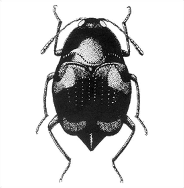Figure 11.Scaphidium quadriguttatum (Say) (Scaphidiinae) 4.3 mm.