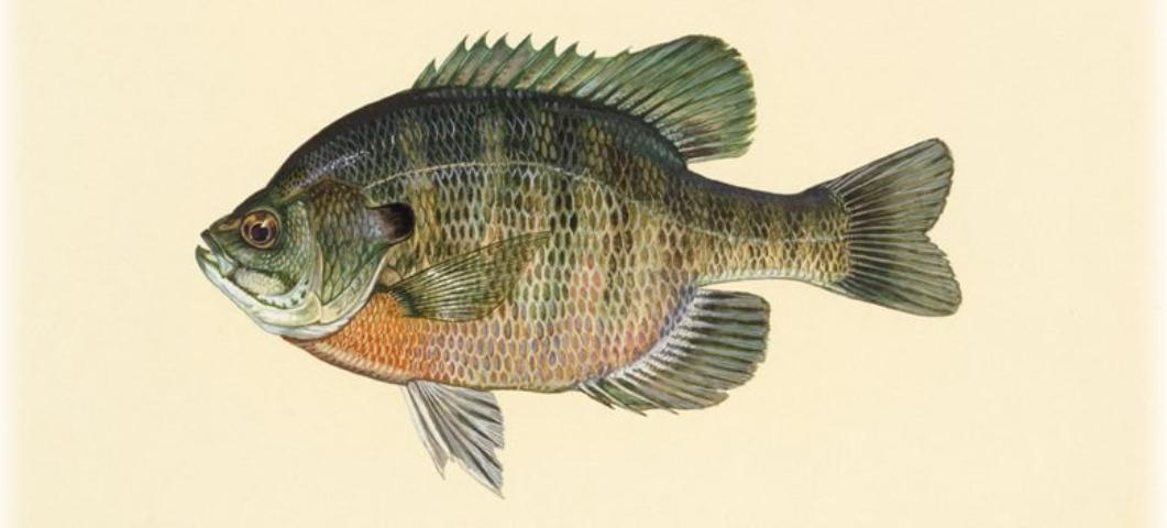 Figure 2.Bluegill provides food for largemouth bass and is a good pan fish.