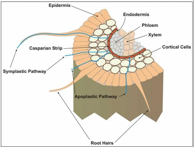 Figure 5.Cross section of a root showing the Casparian strip and symplastic (active) and apoplastic (passive) ion uptake across the root. Ca uptake is most effective in younger root tips, where the Casparian strip is not fully developed.