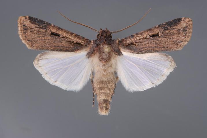 Figure 6.Granulate cutworm moth.