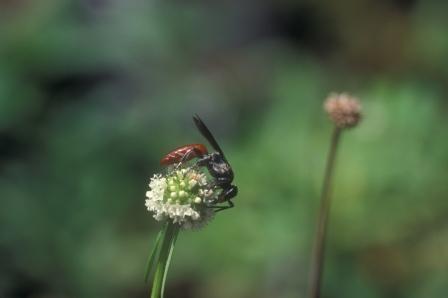 Figure 7.Larra bicolor, a mole cricket parasitoid, feeding on nectar from Spermacoce verticillata.
