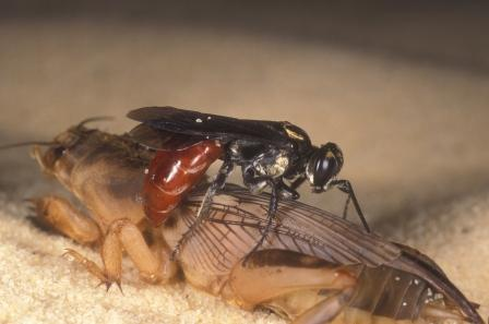 Figure 9.Larra bicolor atacando a un grillo topo, Scapteriscus vicinus. Créditos: Lyle Buss