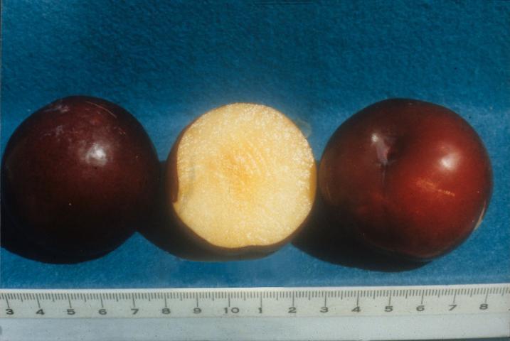 Figure 6.'Gulfblaze' fruit showing flesh color. Scale in centimeters.