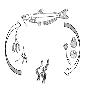 Figure 2. Typical freshwater myxozoan life cycle.