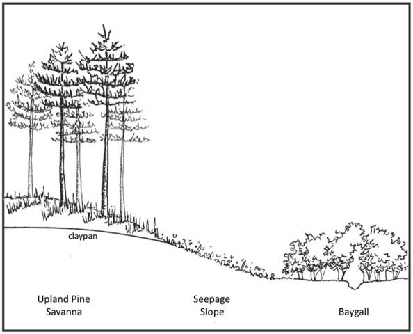 Figure 2.Diagram of the topographic relationship between upland savannas, seepage slopes, and shrubs along the stream bottom.