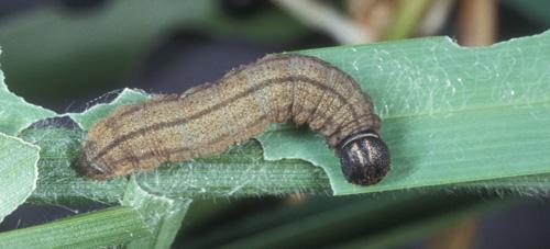 Figure 5.Fiery skipper, Hylephila phyleus (Drury), larva with feeding damage on a blade of grass.