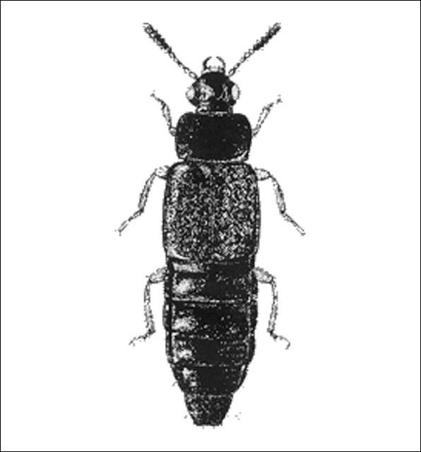 Figure 2.Omalium sp. (Omaliinae) 3.5 mm.
