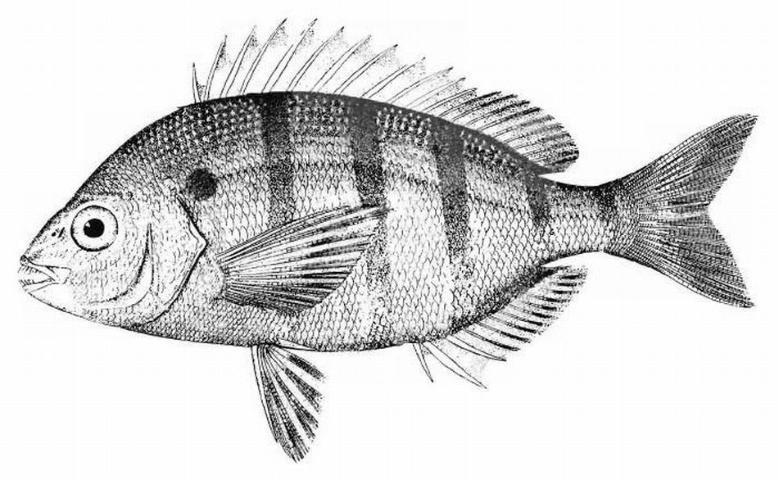 Figure 1.Pinfish, Lagodon rhomboides.