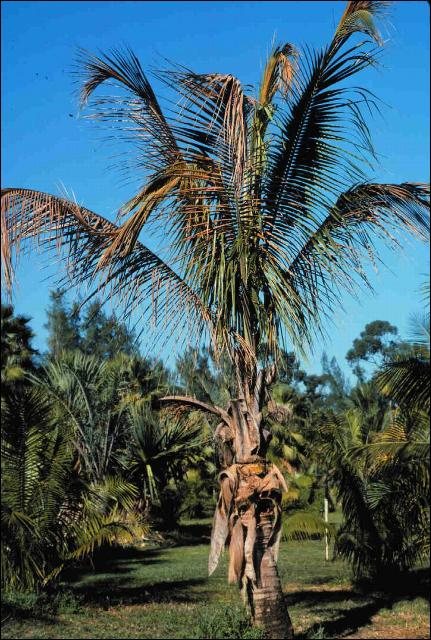 Figure 4.Green form of 'Malayan Dwarf' Cocos nucifera with Lethal Yellowing exhibiting discoloration of leaves (grayish-brown rather than yellow) and overall wilted appearance.