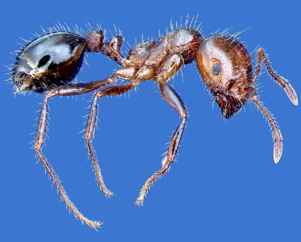 Figure 8.Red imported fire ant.
