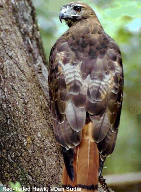 Figure 1.Red-tailed Hawk (Buteo jamaicensis).