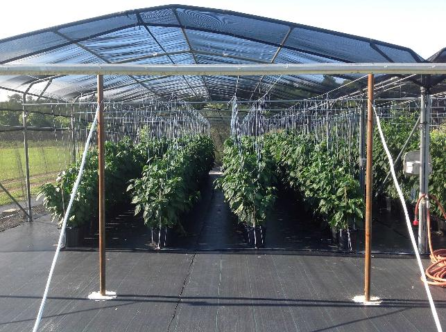 Figure 7.Bell peppers grown under an open shade structure in Live Oak, FL.