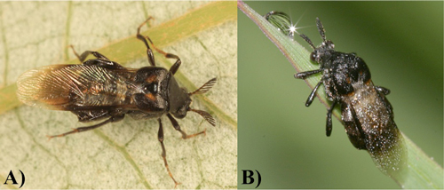 Figure 2. Adult specimens of the two species of Ripiphorus present in Florida. A) Ripiphorus schwarzi LeConte, and B) Ripiphorus fasciatus Say.