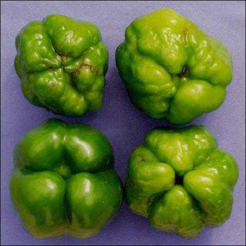 Figure 3.Virus symptoms on green pepper fruit (fruit from non-infected plant shown at bottom left for comparison).