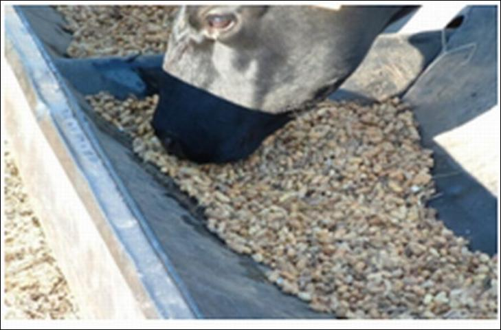 Figure 1.A beef cow consuming whole peanuts.