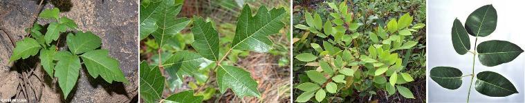 Enh886 Ep220 Identification Of Poison Ivy Poison Oak Poison Sumac And Poisonwood,Horse Lifespan