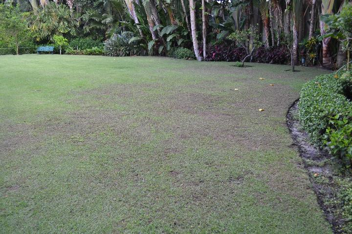 Figure 5.Extensive Tuttle mealybug damage in a zoysiagrass lawn in south Florida.