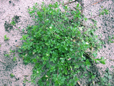 Figure 1. Stellaria media plant. Note the mat-forming branches.