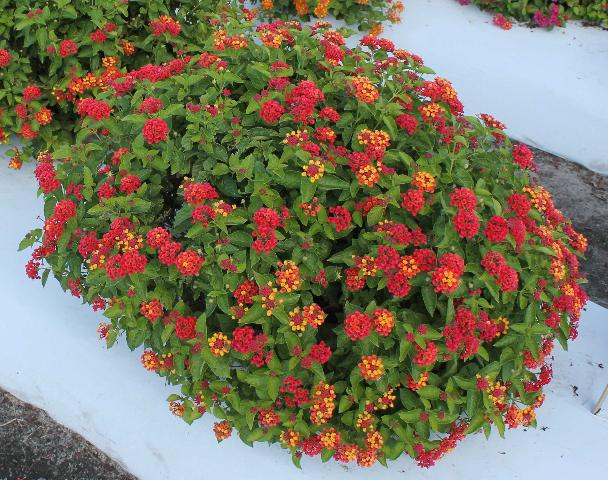 Figure 1.Plants of 'Bloomify Red' lantana propagated by cutting, grown in containers for 95 days, and grown in the ground bed for 124 days.